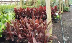 Cordyline Rubra Add colour to your garden.17cm pots