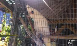Corella short bill, have had since six months old in