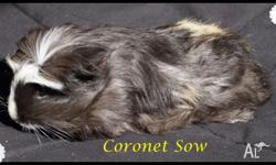 Availiable for adoption, 2 Boars and 1 sow Coronets,