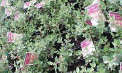 Correa varieties available in 15cm pots $5.00 Sertel s