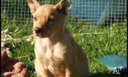 Cream Kelpie Male pup, (born 14/04/2014) Farm raised,