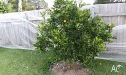 I HAVE A CUMQUAT TREE OVER 1M TALL FRUITS ALL THE