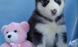 cute and adorable husky puppies for adoption for any