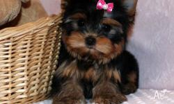 Adorable and very cuddly Teacup Yorkie puppies are