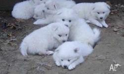 CUTE AND FRIENDLY AMERICAN ESKIMO PUPPIES FOR