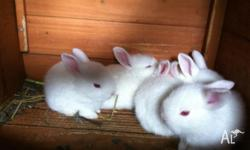 8 week old baby rabbits for sale - $15 each Colours: 3x