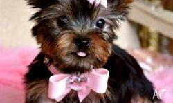 Adorable male and female yorkie puppies which we