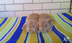 3 Adorable baby purebred dwarf lop bunnies ready to go