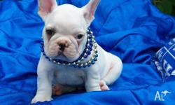 Cute Frenchies available on sale