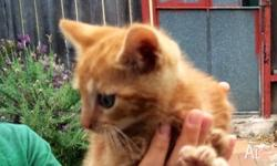 Cute ginger kitten to go to responsible owner. The last