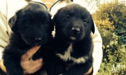 Small Litter of two boys only. Cross Black Labrador