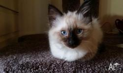 Adorable and friendly Male Ragdoll Kitten. 8 weeks old