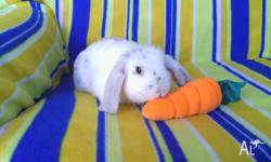 Hi, i have 4 adorable purebred dwarf lop bunnies for
