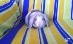 Hi, i have 4 adorable purebred dwarf lops for sale.