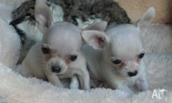 CUTE WHITE Chihuahua Puppies, Champion Bloodlines. For