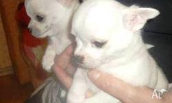 CUTE WHITE Chihuahua Puppies  Champion Bloodlines. For