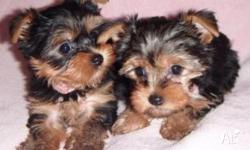 Two Cute Yorkshire terrier Puppies for Free Adoption