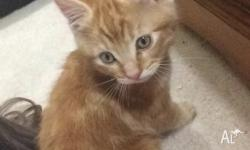 Selling an 8 week old boy ginger kitten will come with