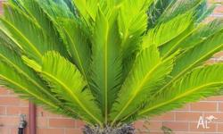 Cycad - Cycas Revoluta - large trunk Perfect for