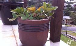 Nice looking Cycad (Cardboard Palm) in clay pot Note: