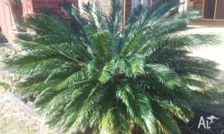 Cycad palm up for sale huge healthy palm.You remove. no