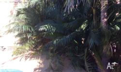 Cycad Palms x 2, well established, over 10 years old
