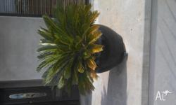 I have 2 cycads in round black pots with a 650mm