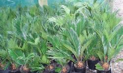 Cycads 15cm pots. Excellent for full sun to part shade.