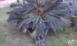 $200 each. 3 large (approx 2.5-3m leaf span) cycads.