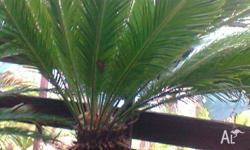 Cycads various sizes in pots. Healthy plants. Large
