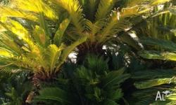 Massive Cycads for sale! 10 choose from. Some 2.5m tall