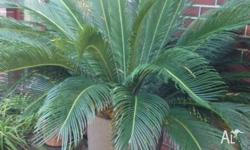 Two big cycads in quality tall pots for sale. Well