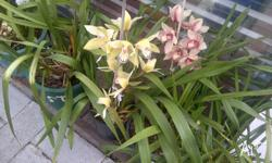 CYMBIDIUM ORCHID many to choose from. Price starting