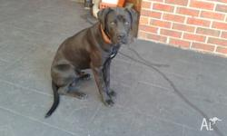 Dane/Steffy - Male - microchipped, vaccinated and