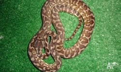 We have 2 darwin carpet pythons for sale for $199 each.