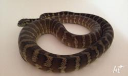 1.5 to 2 year old Darwin python, never missed a feed,