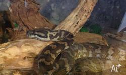 Darwin Carpet Python 5 year old Female Beautiful