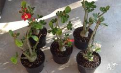 I have 5 Desert Rose plants(red flowers) - known for