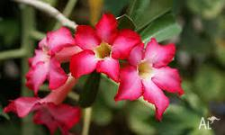 Desert Roses - give them a go! Hardy plants that love