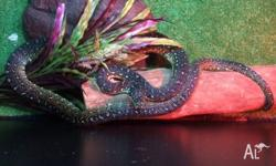 We have one diamond python for sale for $399. Beuatiful