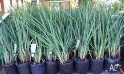 Dianella Revoluta Hardy native grass in 150mm pots