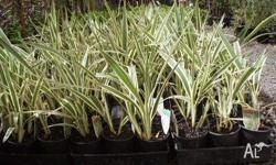 Dianella Silver Streak Suitable for border plant or