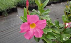 For sale are Dipladenia 'Red Riding Hood' plants in