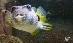 Hi I have a large dog face puffer for sale,on its own