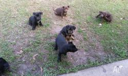 3 pure bred kelpie pups for sale. Wormed, vaccinated,