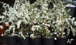 Double May displays abundance of white flowers in