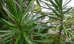 Dracaena Cuttings off Plants great for fence cover or