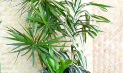 Dracaena Mixed Plants In Large Pots (have a few here)