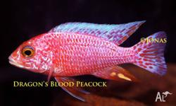 ------------------ FINTASTIC CICHLIDS ORMEAU � Like us