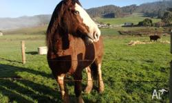 16 hh draught horse gelding broken to harness, 9 yo